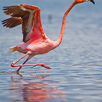 A rare wild Flamingo takes flight from Snake Bight, Everglades National Park. Thanks to a tracking tag on the birds leg, researchers discovered the bird was once part of a flock from the Yucatan Peninsula. It's thought it was blown off course during a tropical storm and ended up in the Everglades.