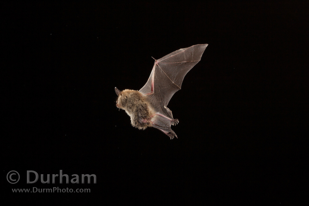 A pregnant female northern long-eared myotis (Myotis septentrionalis) photographed in the Cherokee National Forest, Tennessee.