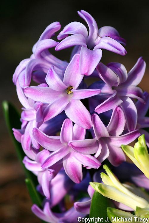 Beautiful lavender spring Hyacinths.