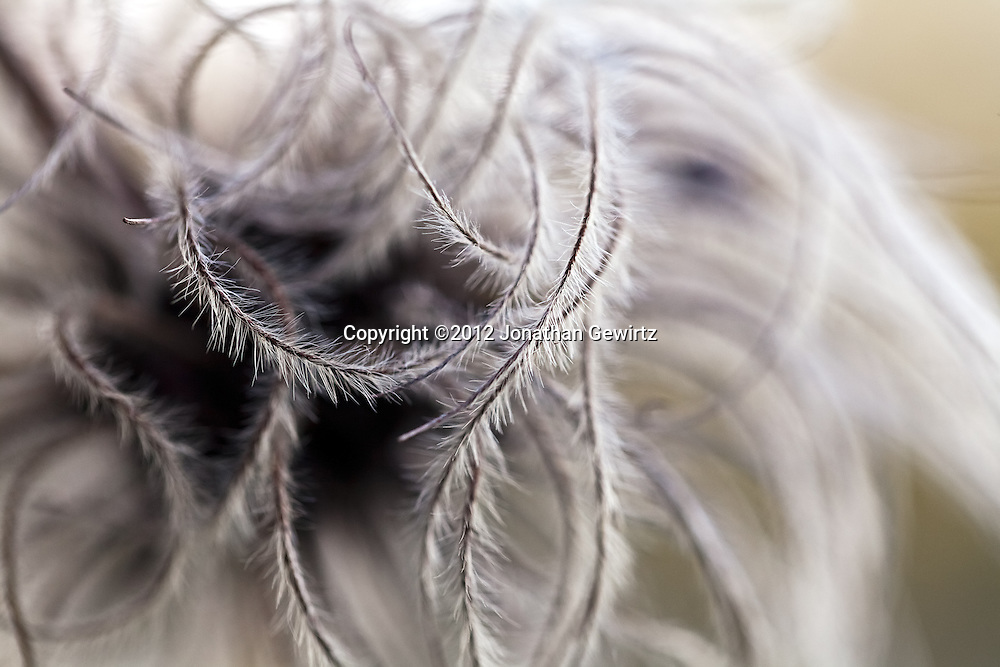 Abstract tendrils of an opened seed pod in a garden. WATERMARKS WILL NOT APPEAR ON PRINTS OR LICENSED IMAGES.