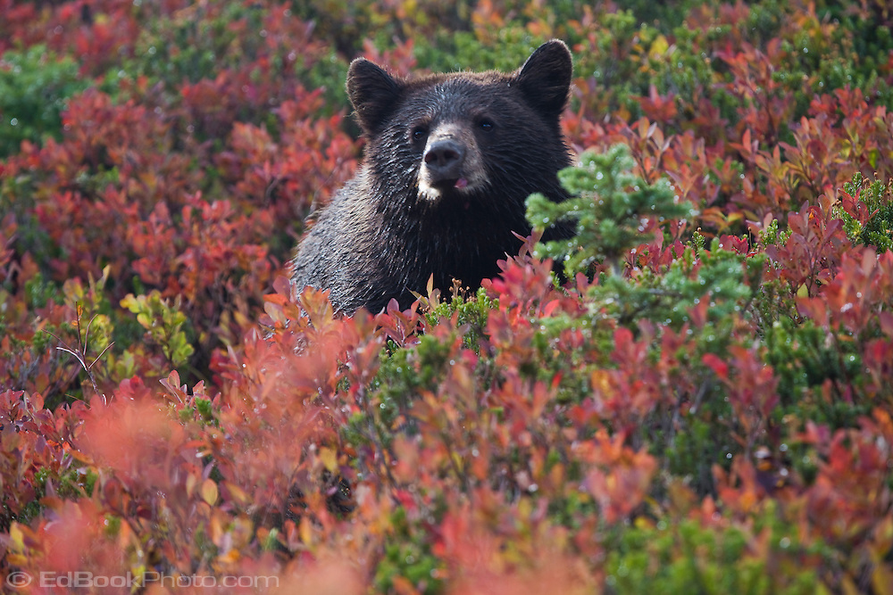 Black Bear cub (Ursus americanus) in a huckleberry patch in the autumn in Mount Rainier National Park, Washington, USA