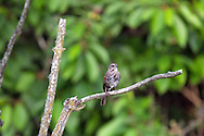 A Song Sparrow (Melospiza melodia) perched on a branch in the marsh at Elgin Heritage Park near Crescent Beach, British Columbia, Canada