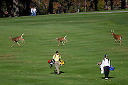 Employing their best golf etiquette, a family of deer waited for Springfield Shawnee's Kyle Sine, left, and Lima Bath's Thomas Leidy to hit their second shots on the 12th before crossing the fairway during the Division II state championship golf tournament at The Ohio State University Scarlet and Gray Courses on Oct. 14, 2006.