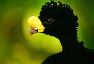 Great curassow, Crax rubra, Belize