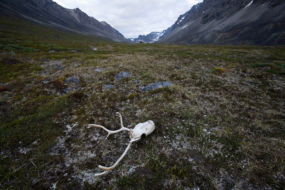 Greenland, Itilleq, Reindeer (Rangifer tarandus) skull and antlers on tundra along Itilleq Fjord