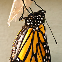 Monarch emerging from pupa