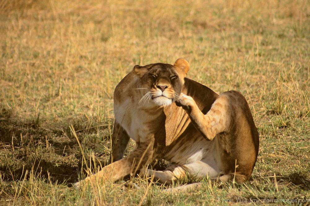 Africa, Kenya, Maasai Mara. Lioness scratches an itch.
