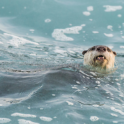 Cape Clawless Otter feeding in the surf zone, Tsitsikamma Marine Protected Area, Garden Route National Park, Eastern Cape, South Africa,