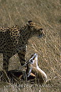 Female Cheetah Stands Guard Over Her Prey, A Tomson's Gazelle.