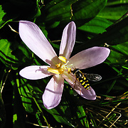 A hoverfly (flower fly or syrphid fly, insect family Syrphidae) feeds on a crocus in Switzerland, the Alps, Europe.