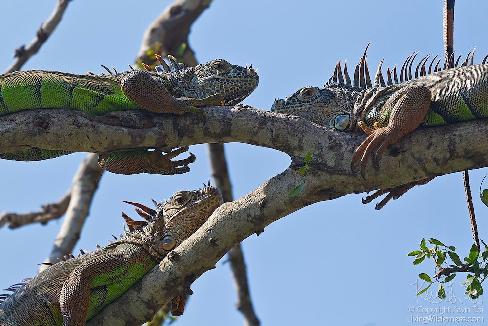 "Three green iguanas (Iguana iguana) sun themselves in a tree near Puerto Vallarta, Mexico. Green iguanas have special cells in their eyes called ""double cone cells"" that allow them to see ultraviolet wavelenghts of light, helping them to position themselves to receive enough UVA and UVB from sunlight."