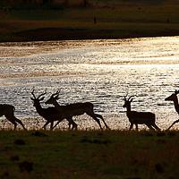 Africa, Zimbabwe, Bumi Hills. Impala silhouettes on shore of Lake Kariba, Zimbabwe.