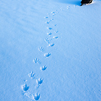 Antarctica, Anvers Island, Gentoo Penguin (Pygoscelis papua) resting near line of footprints left in snow near Port Lockroy