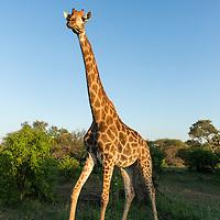 South Africa, Mpumalanga Province, Kruger National Park, Giraffe (Giraffa camelopardalis) walking through lowveld forest at sunset
