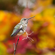 A female Anna's hummingbird (Calypte anna) rests on the branch of a Japanese maple tree that's showing its fall colors.