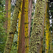Lichen covers old-growth trees in Deception Pass State Park, Whidbey Island, Washington, USA
