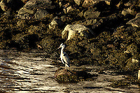 Heron Fishing at Torvik. Image taken with a Nikon D2xs and 80-400 mm VR lens (ISO 200, 400 mm, f/6, 1/160 sec).