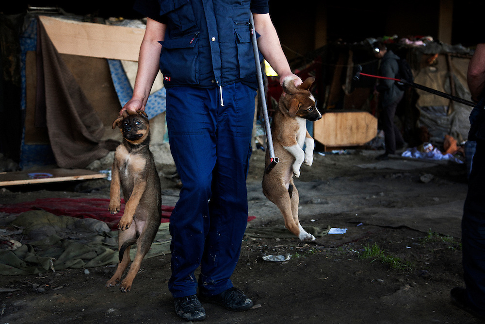Employees of the Belgrade animal control catch stray dogs in an area of the Belville camp under the New Belgrade train station. The dogs were taken under veterinary care.