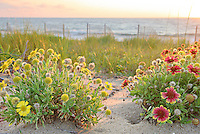 These Gaillardia flowers grow like weeds in the sand on the Outer Banks. They are also known as Indian Blanket Flower, or Firewheel, and are locally known as Jo Bells.