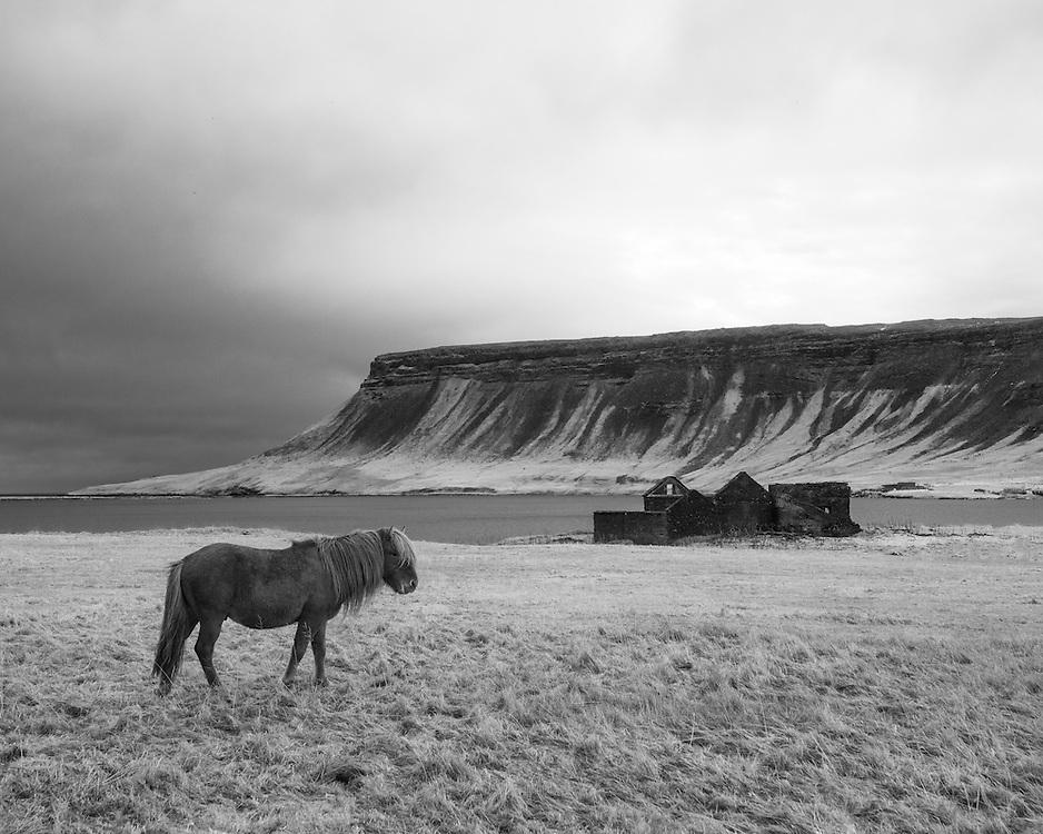 Icelandic horse, Kviabryggja, Iceland