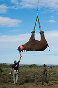 Black Rhinoceros (Diceros bicornis) slung from helicopter. Gavin Shaw, park section ranger &amp; Kathy Dreyer, Veterinary Services.<br /> Great Fish River Nature Reserve, Eastern Cape Province<br /> SOUTH AFRICA<br /> A viable breeding population of 15 animals being relocated to an undisclosed destination.<br /> ENDANGERED SPECIES. CITES 1