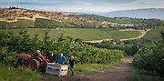 Orchard view cherry harvest, The Dalles, Oregon