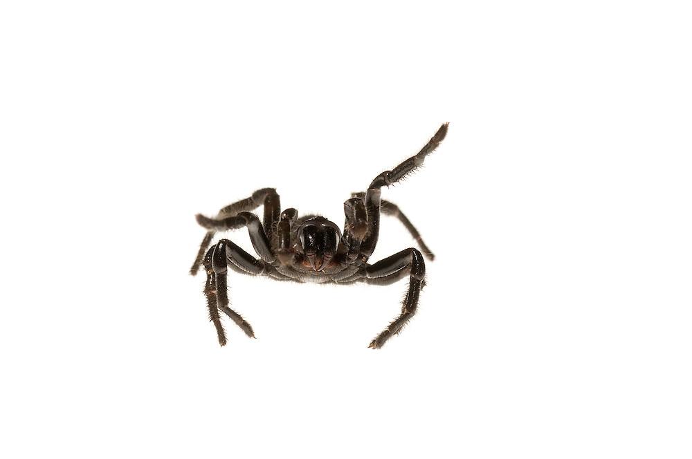 Southern Trapdoor Spider (Ummidia audouini)