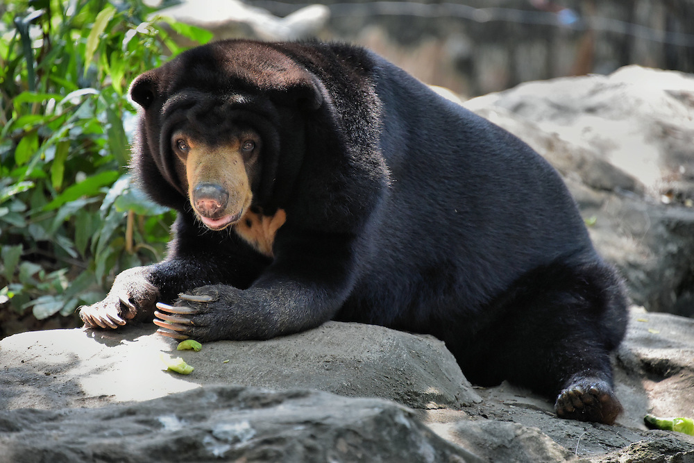 Malayan Sun Bear at Dusit Zoo in Bangkok, Thailand <br /> The Malayan sun bear lives in the rainforests of Southeast Asia.  Because it has an affinity for eating honeycombs, it is also called a honey bear.  A large adult male only grows up to 175 which qualifies it as the world&rsquo;s smallest bear.
