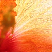 hibiscus,flower,