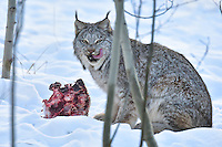 A Yukon lynx enjoys a lip-licking meal