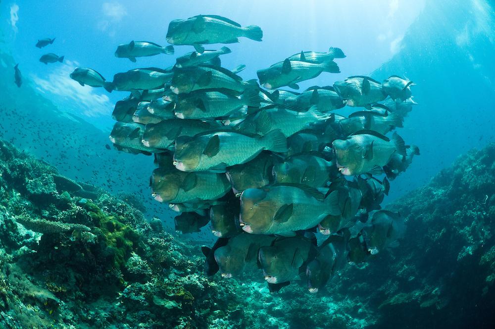 Schooling bumphead parrotfish, Sipadan, Sabah, Malaysia.