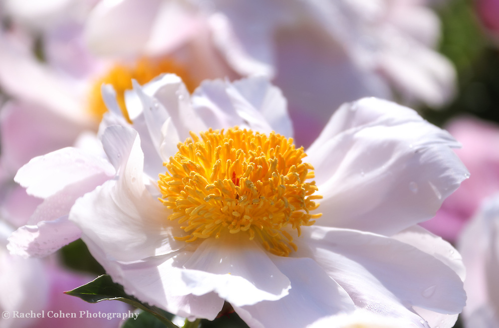 &quot;Angelina&quot;<br /> <br /> Wonderful large white and pink peony blossoms with giant golden centers!
