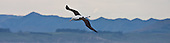 Northern Royal Albatross Pictures - Photos