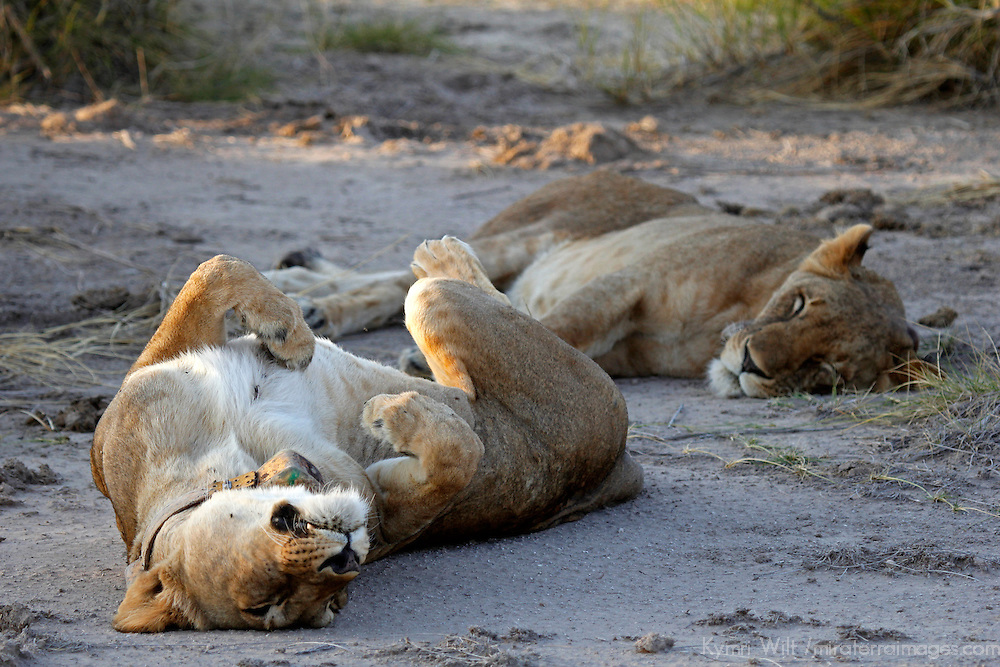 Africa, Kenya, Amboseli. Two collared female lions laze around.