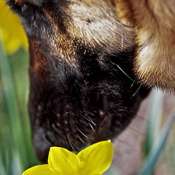 German Shepherd sniffing daffodils, Arlington, Virginia