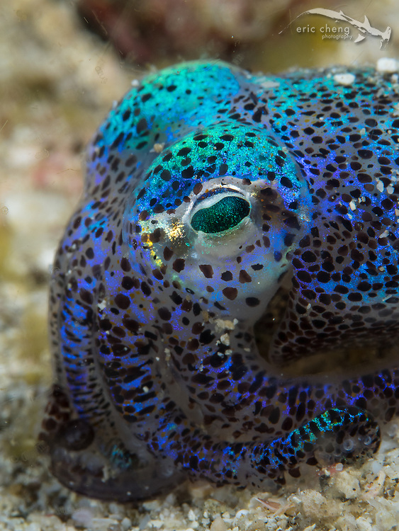 A large and beautiful Berry's bobtail squid (Euprymna berryi). They are irridescent, and are frequently found out on the sand at night. Rinca, Komodo National Park, Indonesia.