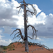 A dead tree stands alone in the Coral Pink Sand Dunes.
