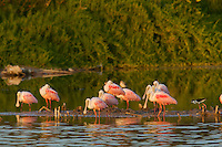 Roseate Spoonbill (Ajaia ajaja)..Everglades National Park, Eco Pond.
