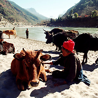 """DIQING COUNTY, DECEMBER 19, 2000: a Tibetan nomad plays with a cow near the NU river, Yunnan province , December 19, 2000.. Diqin county is believed to be part of the areas on which James Hilton's famous novel """" lost Horizon""""- a description of Shangri-La- is modelled.."""
