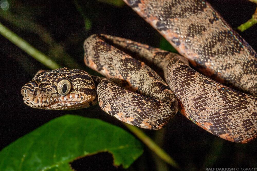 Snake, probably an amazon tree boa (Corallus hortulans) - Las Piedras river, Madre de Dios, Peru