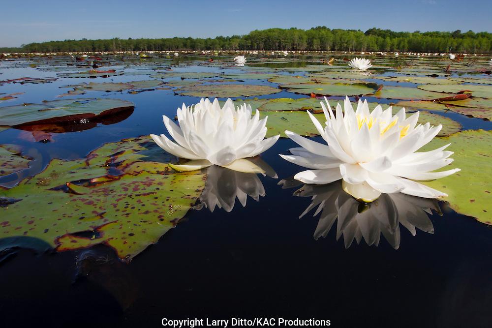 Fragrant Water Lilies (Nymphaea odorata) in Caddo Lake, Texas