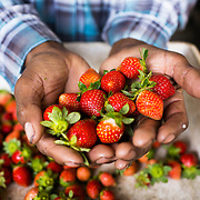 Emiliano displays the quality of his fruit while sorting and packing the strawberries harvested that morning. Emiliano Dominguez, 33, is a strawberry, beans and potato farmer in western Honduras. The father of three joined the USAID ACCESO project in 2013. Since then Emiliano has witnessed a significant increase in his crop production. Strawberry farming has been particularly profitable. In the three years since Emiliano joined the CropLife funded program, he has been able to buy more land, a truck to deliver his products, build a modern house with running water and electricity, and buy a television with a satellite dish. Emiliano is optimistic about the future and proud to be able to give his children the childhood and education he didn't get. Guice, Intibucá, Honduras.