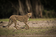 One of approximately six Cheetahs still in Amboseli National Park, Kenya.<br /> LIMITED EDITION PRINT