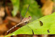 Common Woodskimmer (Uracis imbuta) female<br /> Peru: Departamento de Madre de Dios Co.<br /> Refugio Amazonas on the Tambopata River<br /> 30-Jul-2016<br /> J.C. Abbott #2857 &amp; K.K. Abbott