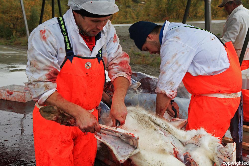 Slakting i Saanti Sijte, Essand reinbeitedistrikt. Skarpdalen mellom Tydal og Meråker. Reindeer slaughtering by the south sami group Saanti Sijte. Mid-Norway.