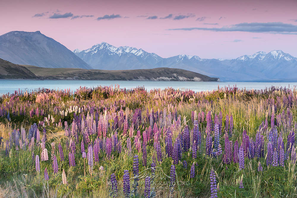 A field of lupins blankets one edge of Lake Tekapo, while snow-capped mountains rise above the other end of the lake.  South Island, New Zealand
