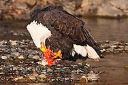 Bald Eagle (Haliaeetus leucocephalus) feasting on Chum Salmon (Oncorhynchus keta) on riverbed in Chilkat Bald Eagle Preserve near Haines in Southeast Alaska.  Winter. Afternoon.