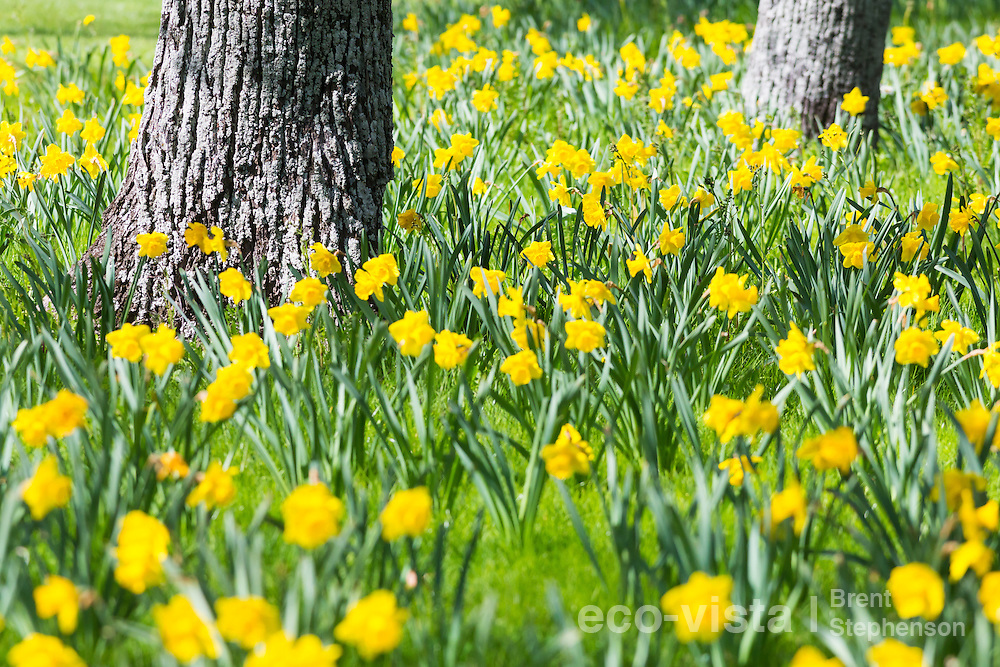 Daffodils (Narcissus sp.) in full flower during a sunny spring day in Nelson, surrounding the trunks of oak (Quercus sp.) trees. Nelson, South Island, New Zealand. September.