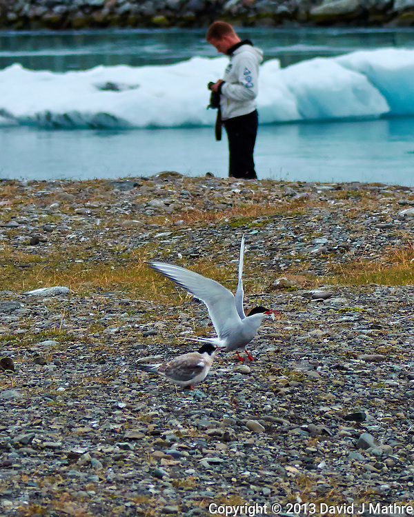What is the Subject - The Arctic Tern with a Fish for its Chick, or the Photographer Chimping in front of the Ice Flow. Breiðamerkurjökull Glacier at the Jökulsárlón Lagoon in Southeast Iceland. Image taken with a Nikon 1 V2 camera, FT1 adapter, and 80-400 mm VRII lens (ISO 400, 80 mm, f/4.5, 1/2000 sec). Nikonians Academy Iceland Photo Adventure.
