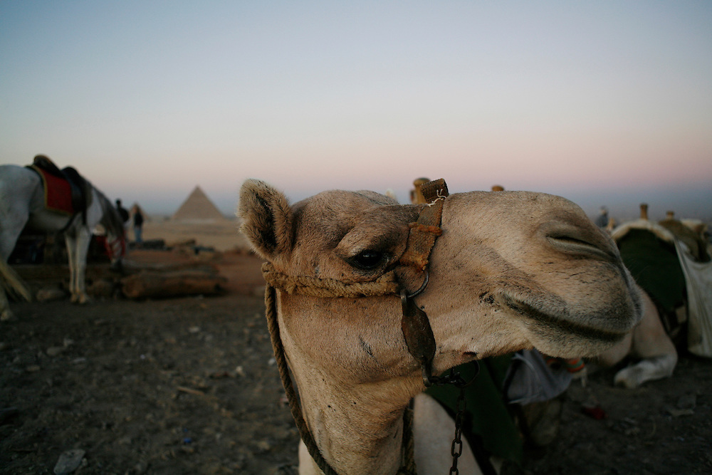 A camel near the pyramids in Giza, just outside Cairo.